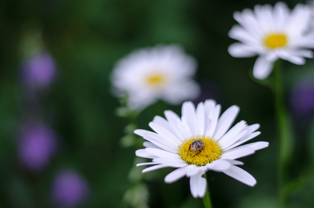 Daisies and bug