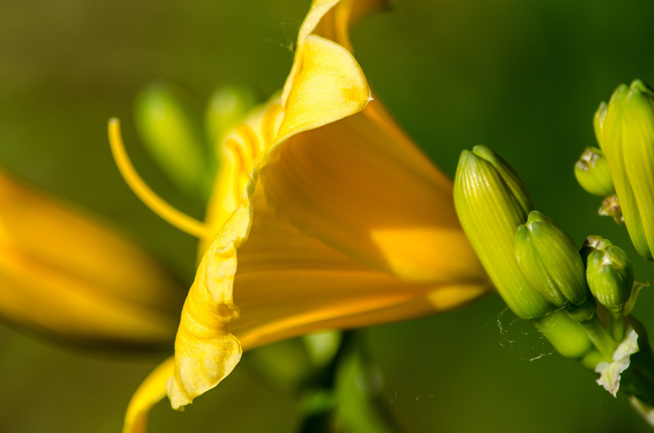 Day lily trumpet and buds