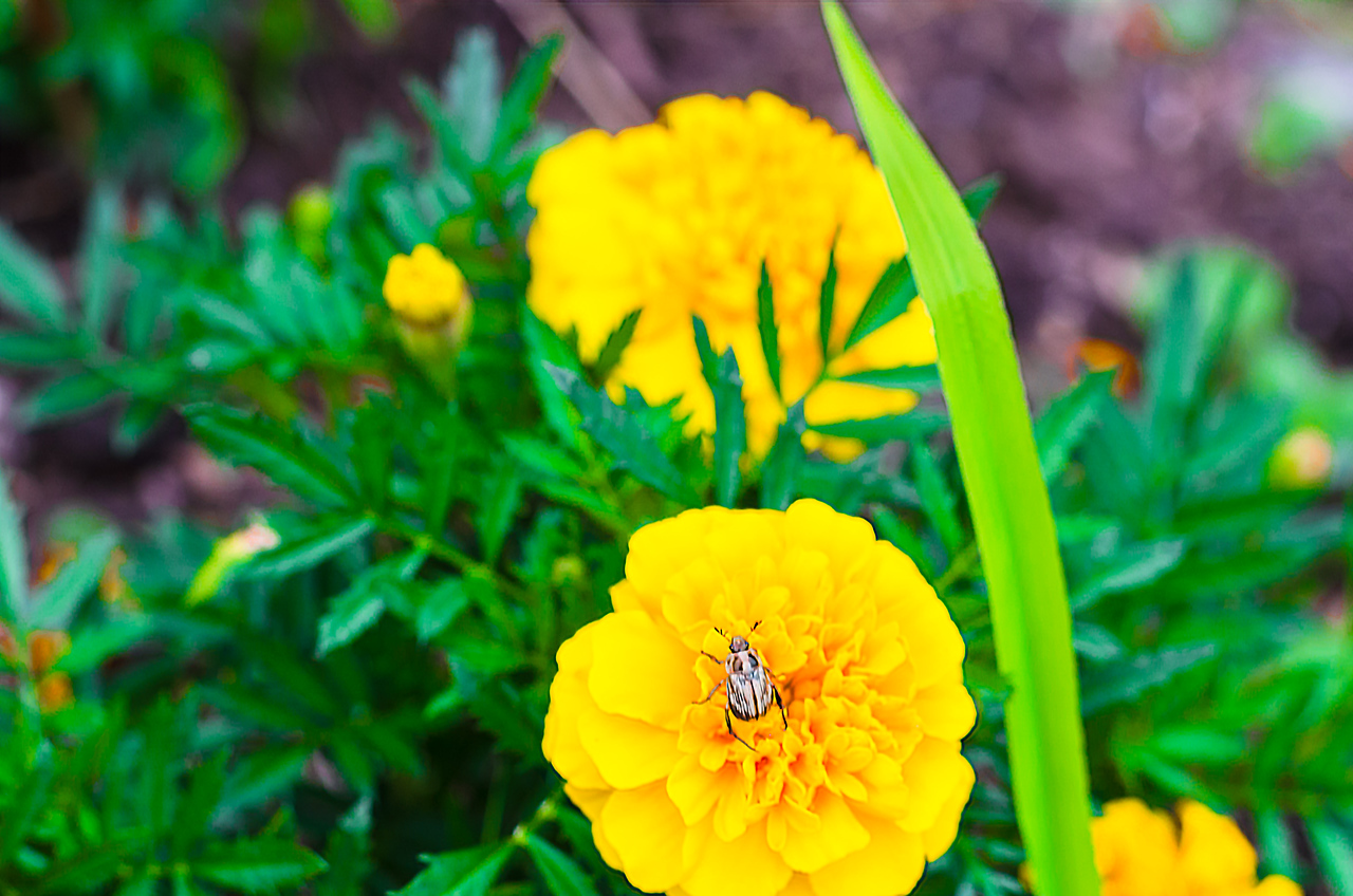 Marigolds and bug, color