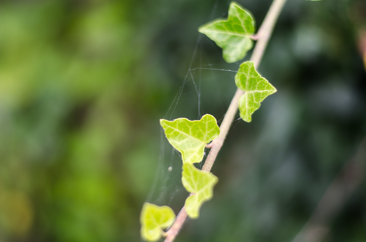 Ivy and web