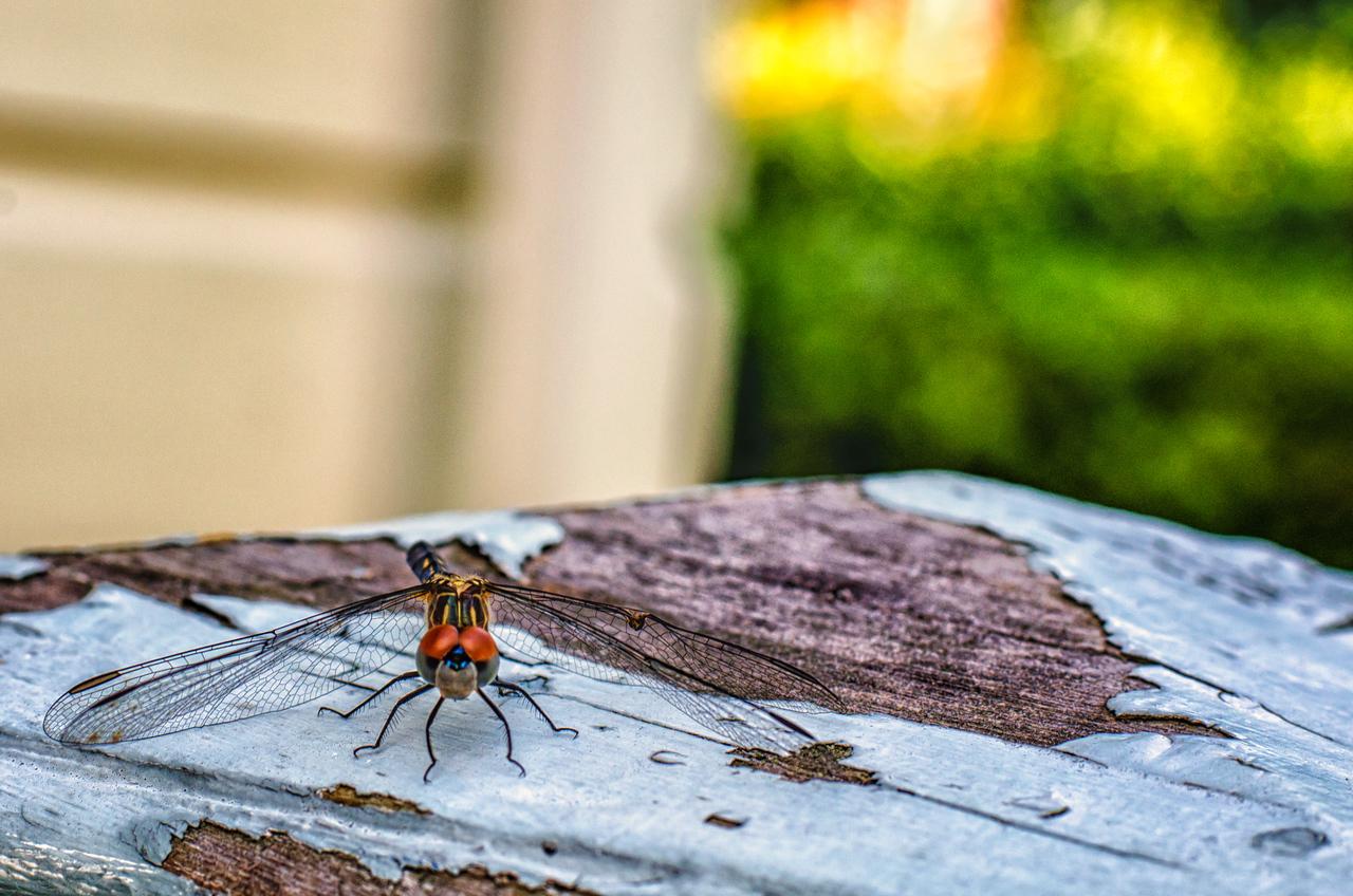 Friendly Dragonfly Visit